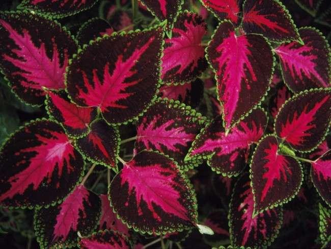 Колеус (54 фото): строкате рослина для прикраси будинку й саду