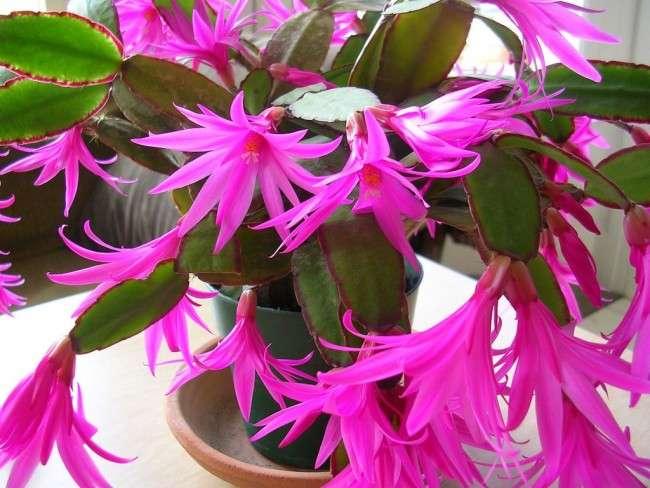 Декабрист (квітка): догляд в домашніх умовах
