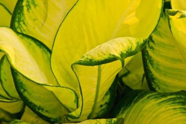 Диффенбахія (65 фото): види, особливості догляду та способи розмноження