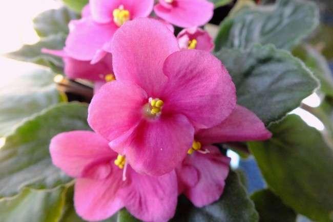 Особливості вирощування фіалок в домашніх умовах — 70 фото