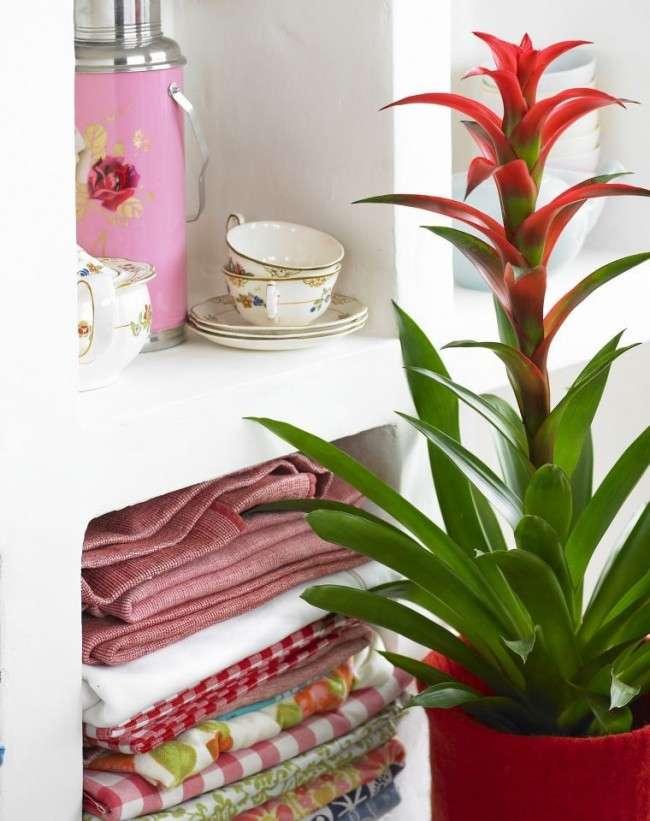 50+ фото Гузмании — догляд та пересадка в домашніх умовах