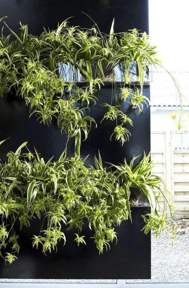 Хлорофітум (55 фото): корисне і строкате кімнатна рослина