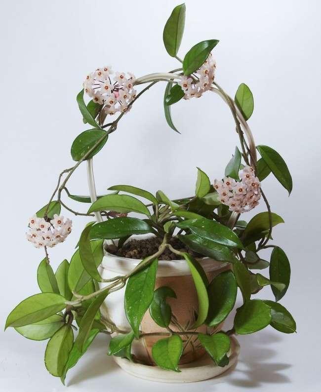 Хойя (восковий плющ): невибаглива квітуча ліана