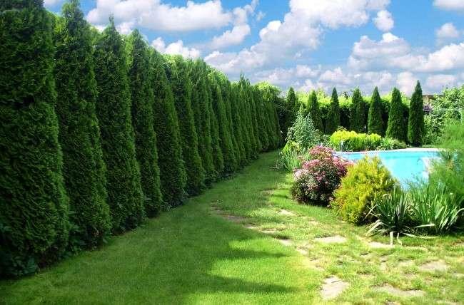 50+ ідей хвойних дерев в ландшафтному дизайні: фото, назви, способи розміщення