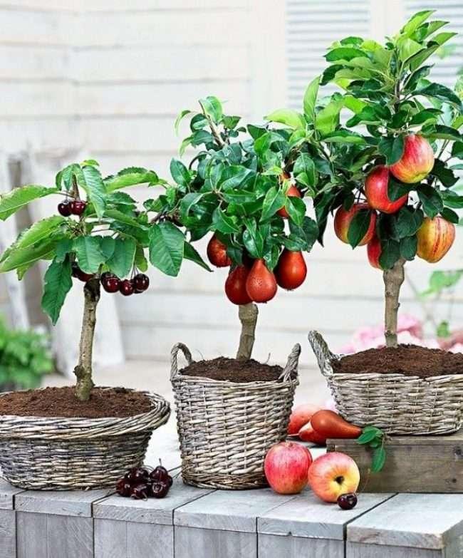 Карликові дерева для дому: особливості догляду і 80 затишних варіантів