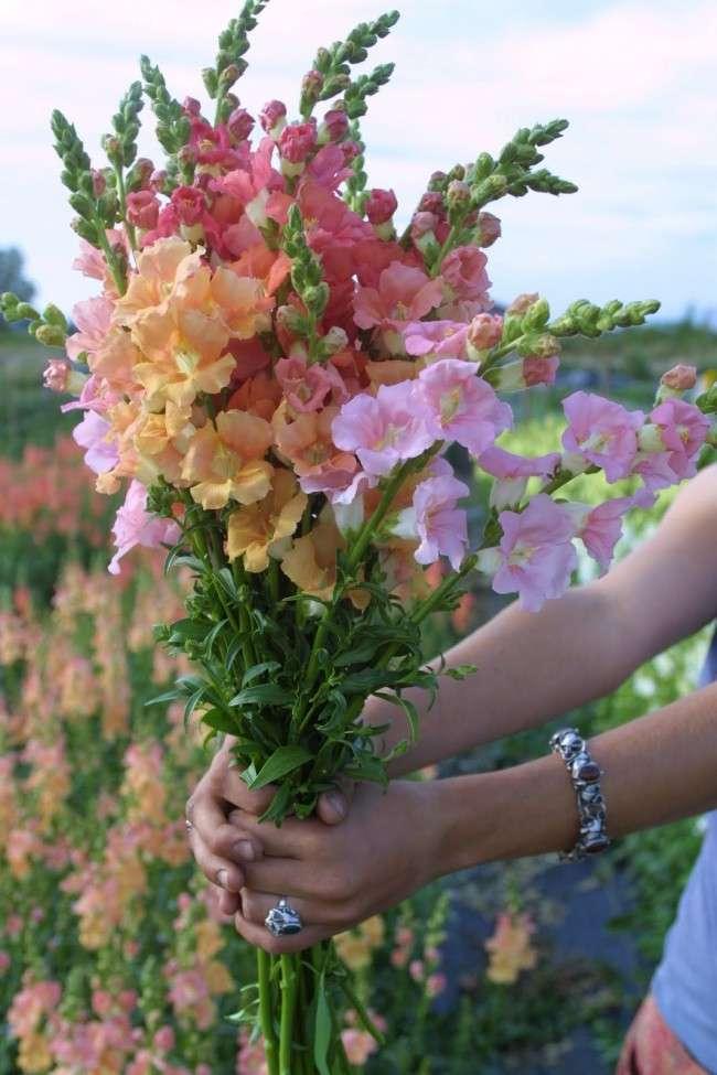 Мальва: посадка і догляд за високорослої красунею