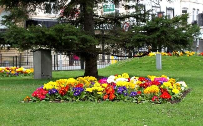 Примула багаторічна, посадка і догляд (60 фото): як виростити квіти небесної краси