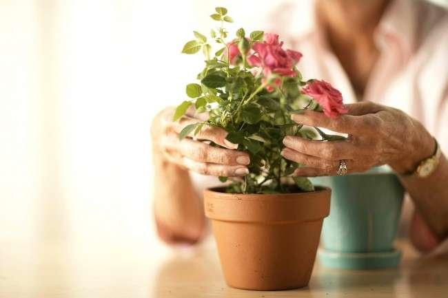 Кімнатна троянда: догляд за примхливою красунею