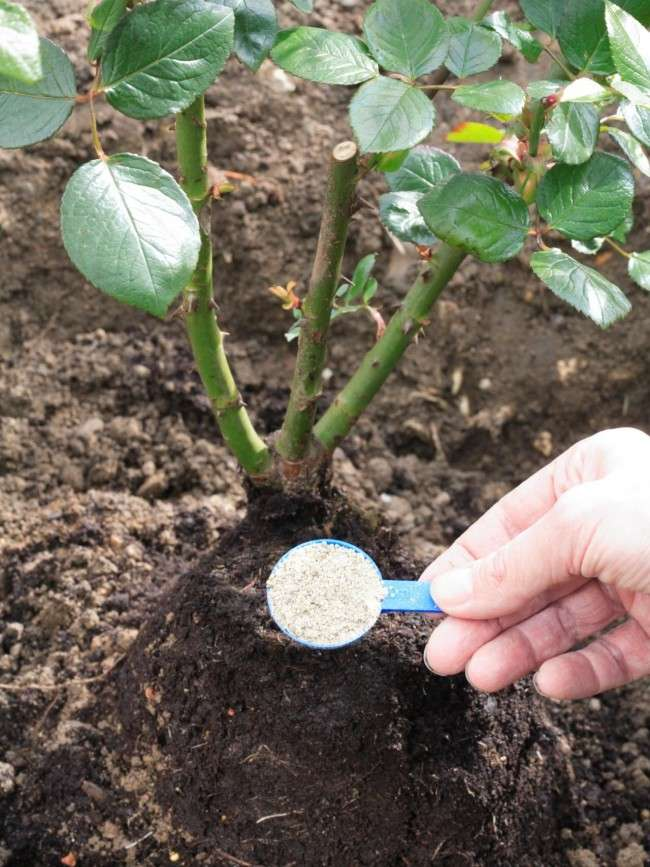 Як доглядати за трояндами восени: посадка, обрізка і підготовка до зими