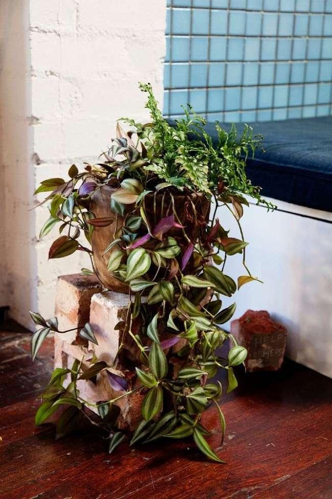 Традесканція: особливості догляду і 50+ кращих рішень для декору кімнати або саду