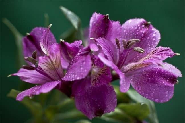 Альстромерія (50 фото): яскрава і приваблива лілія інків