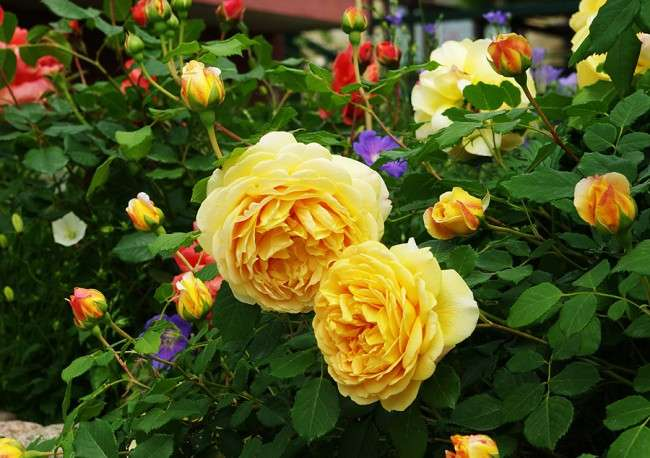 Англійська троянда (55 фото): нова старовинна аристократка