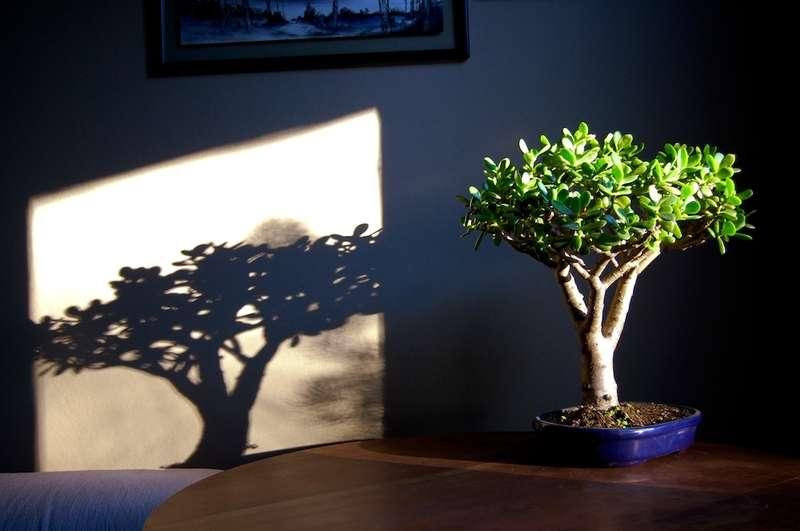 Грошове дерево (60 фото): як отримати красиве і здорове рослина?