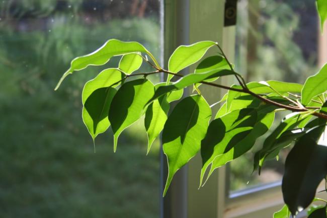 Фікус Бенджаміна (75+ варіантів): догляд в домашніх умовах – полив, обрізка і розмноження