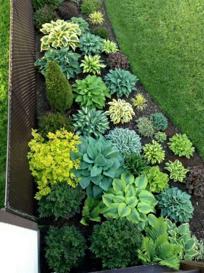 Хоста в ландшафтному дизайні: особливості догляду і 80 гармонійних композицій для саду