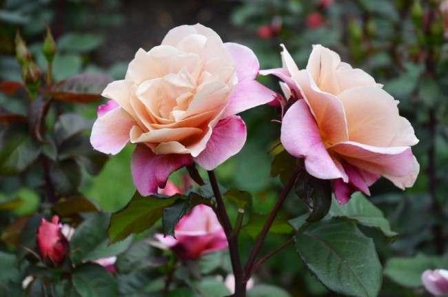 Як виростити троянду будинку: всі секрети від досвідчених квітникарів