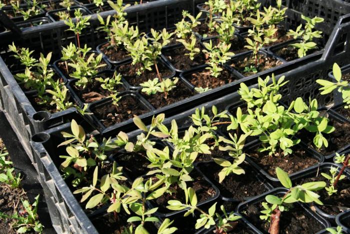 Каприфоль: різноманітність сортів і поради садівників по посадці, догляду та розмноження