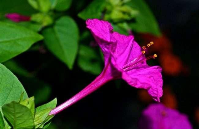 Нічний квітка мірабіліс: все, що потрібно знати про сорти, садінні та догляді