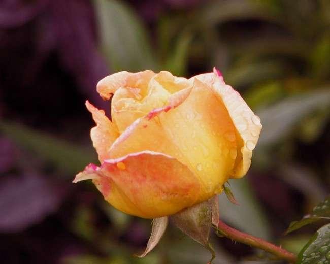 Паркові троянди (50 фото): аристократизм і ностальгічна вишуканість вашого саду