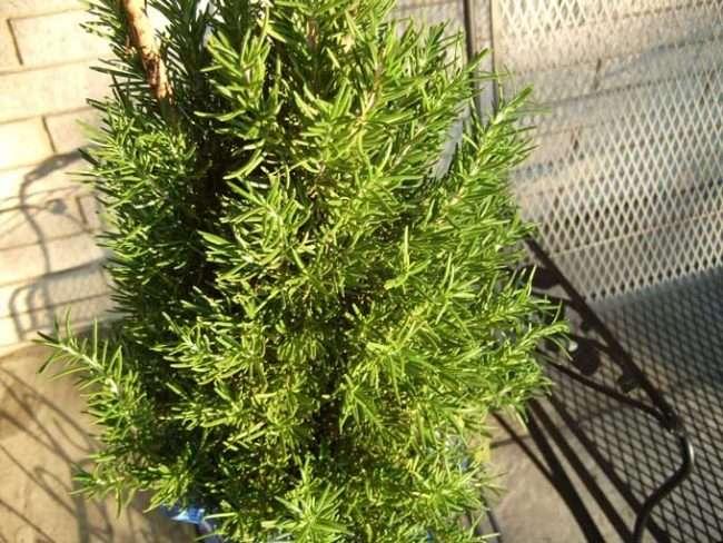 Середземноморські аромати круглий рік: вирощування розмарину в квартирі і його застосування