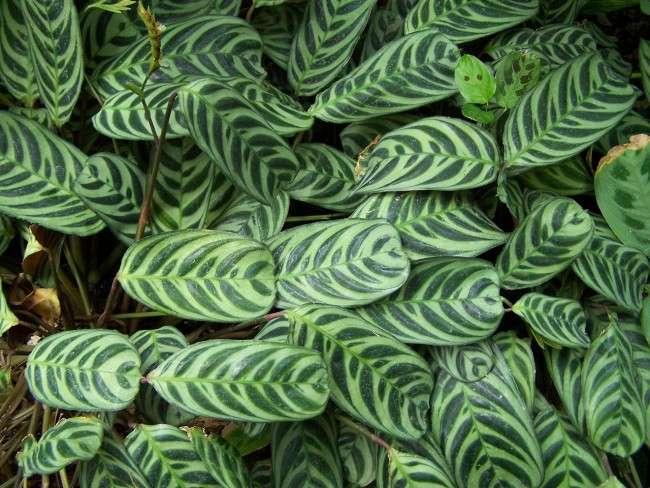 Тропічна красуня строманта: Правила догляду в домашніх умовах 40+ фото